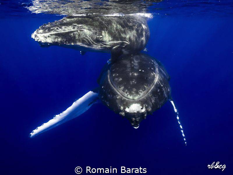 humpback whale and her calf in the clear blue water of Po... by Romain Barats