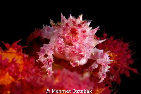 Candy Crab  Romblon / Philippines 2017 by Mehmet Öztabak