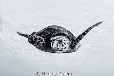 Turtle Portrait by Henley Spiers