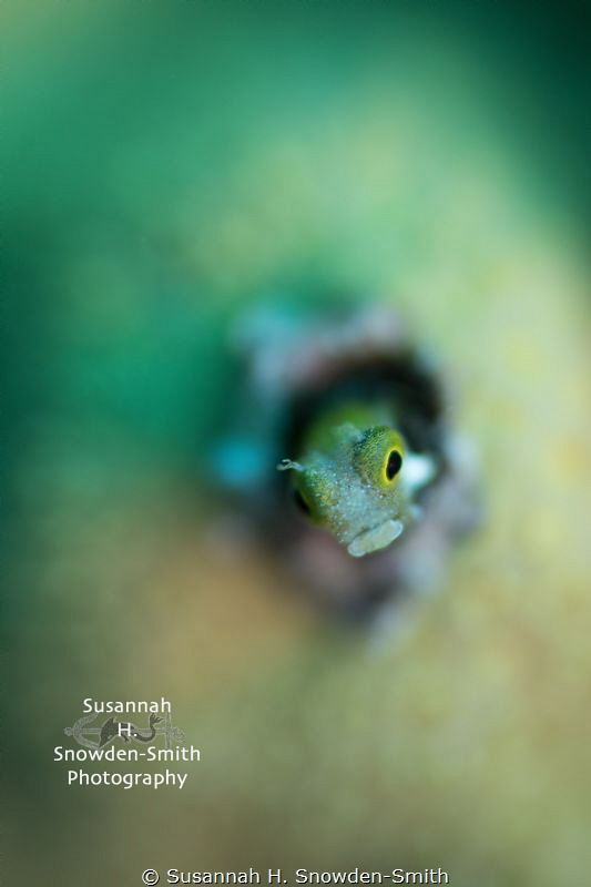 """Oscar The Grouch"" - A secretary blenny peers out of its ... by Susannah H. Snowden-Smith"