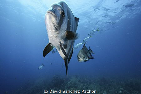 atlantic spadefish swimming 1/3 by David Sanchez Pachon