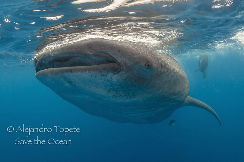 Whaleshark with Diver, Isla Contoy Mexico by Alejandro Topete