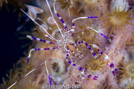 Spotted Shrimp by Henley Spiers