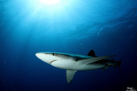 Blue Shark, Pico by Daniel Strub