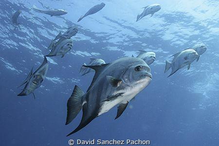 atlantic spadefish swimming 2/3 by David Sanchez Pachon