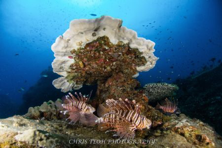 Lion fishes chilling by Christopher Teoh