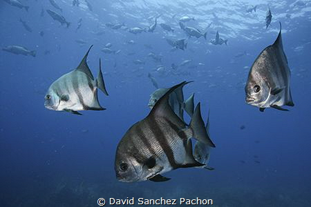 atlantic spadefish swimming 3/3 by David Sanchez Pachon