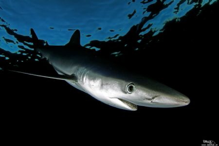 Blue shark :-) by Daniel Strub