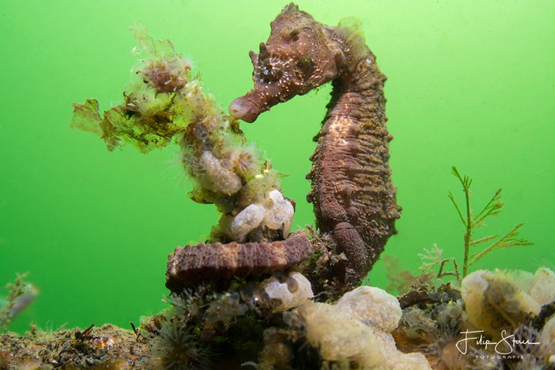 Short-snouted seahorse (Hippocampus hippocampus), Zeeland... by Filip Staes