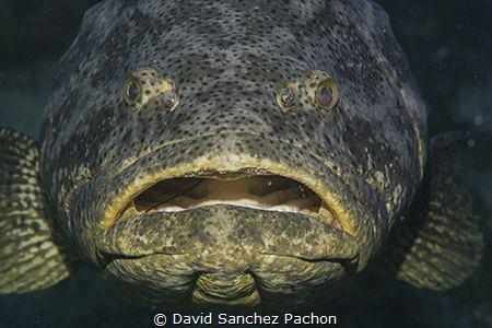 same goliath grouper, same place, 24hours later... still... by David Sanchez Pachon