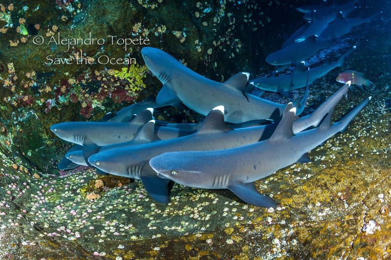 Withe Tips Sharks in Roca Partida, Revillagigedo Islands ... by Alejandro Topete