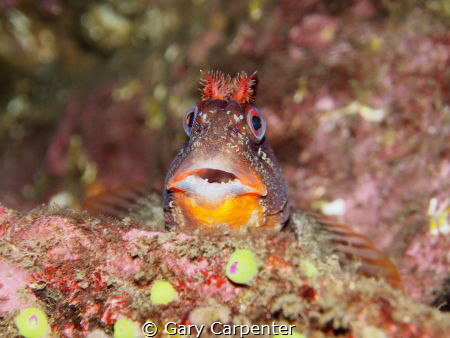Tompot blenny (Parablennius gattorugine) - Picture taken ... by Gary Carpenter