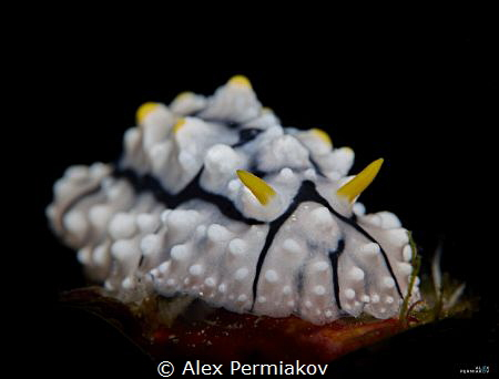 Nudibranch portrait. Snooted light. by Alex Permiakov