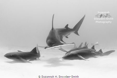 A hammerhead splits a grouping of nurse sharks as it crui... by Susannah H. Snowden-Smith