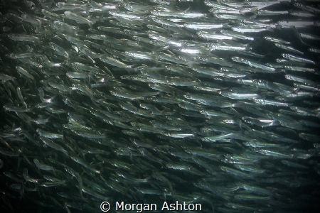 Anchovies in Monterey. by Morgan Ashton