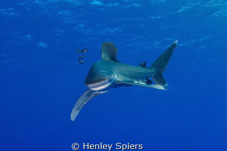 Oceanic White Tip by Henley Spiers