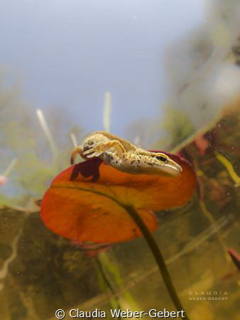 descending..... newt slipping from the leaf of a waterli... by Claudia Weber-Gebert