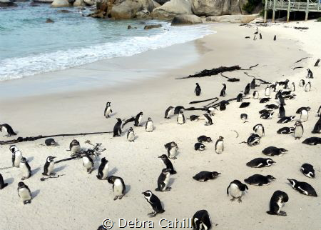 The African Penguins of Boulders Beach South Africa by Debra Cahill