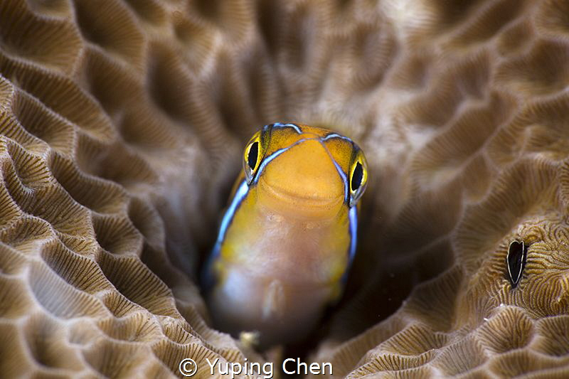 Just a smile/Blenny/Raja Ampat, Indonesia/Canon 5D MarkII... by Yuping Chen