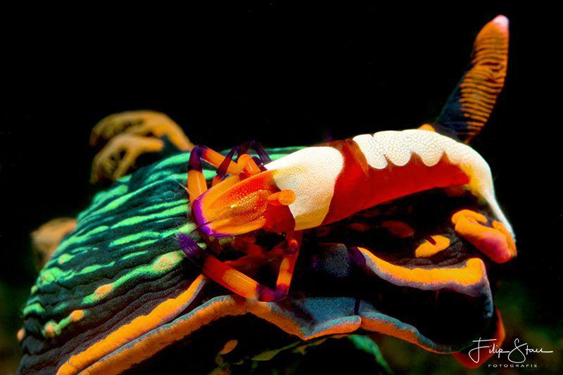 Variable neon slug with Emperor shrimp, Puerto Galera, Th... by Filip Staes