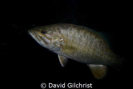 A Smallmouth Bass in the Lower Niagara River. by David Gilchrist