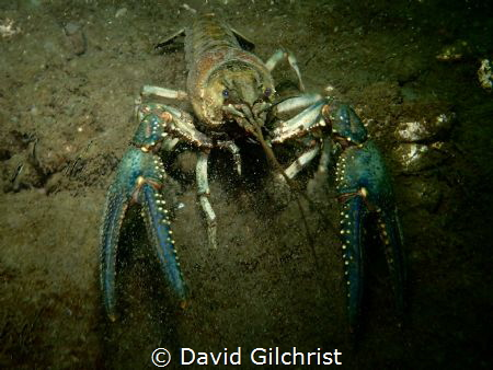 A Virile Crayfish, one of nine species found in Ontario, ... by David Gilchrist