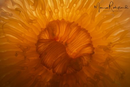 Orange anemone back lighting by Mario Robillard
