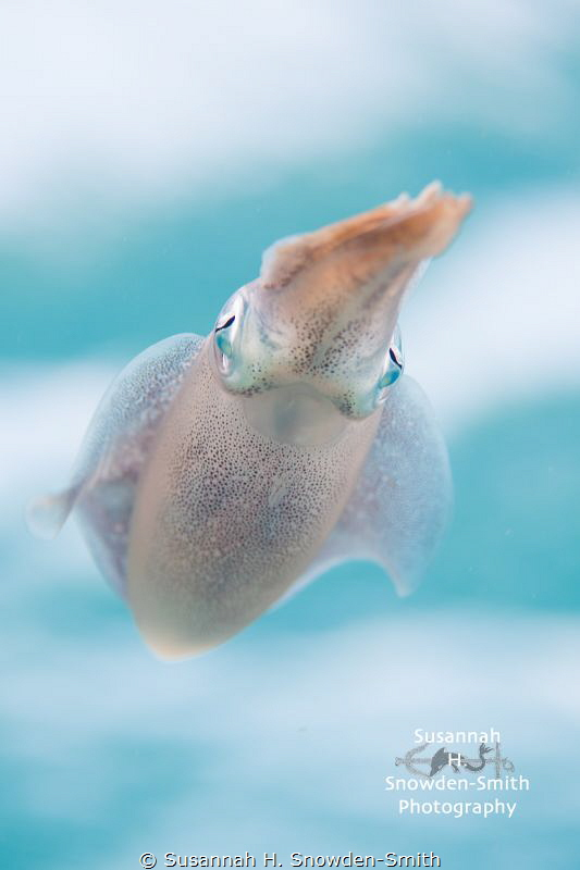 """Dreamy Squid"" - Squid near the surface with the sky and ... by Susannah H. Snowden-Smith"