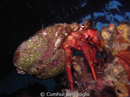 Dardanus calidus CLIMBER by Cumhur Gedikoglu