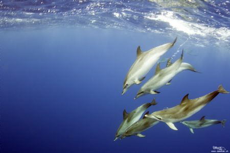 Atlantic spotted dolphins by Daniel Strub
