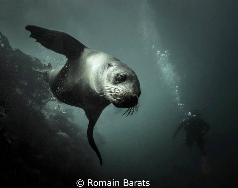 a playful cape fur seal by Romain Barats