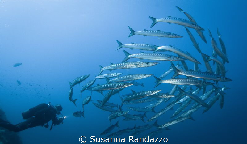 barracudas wide angle by Susanna Randazzo