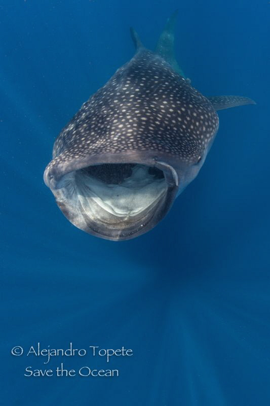 Whale Shark in sun rays, Isla contoy México by Alejandro Topete