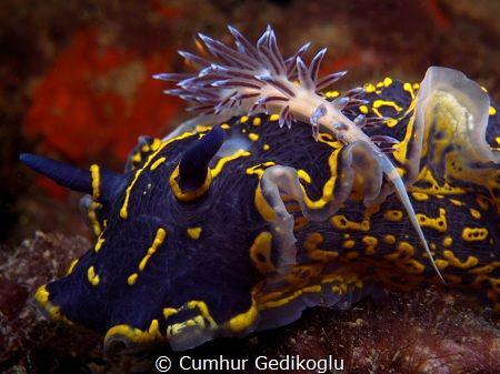 Hypselodoris picta with Cratena peregrina by Cumhur Gedikoglu