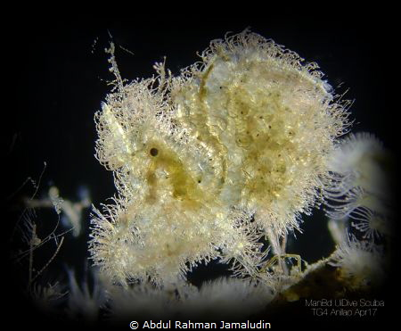 BACKLIGHT, Hairy Shrimp 2mm