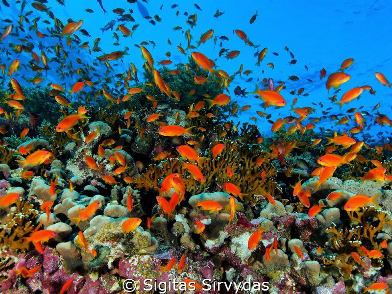 Red sea corals by Sigitas Sirvydas