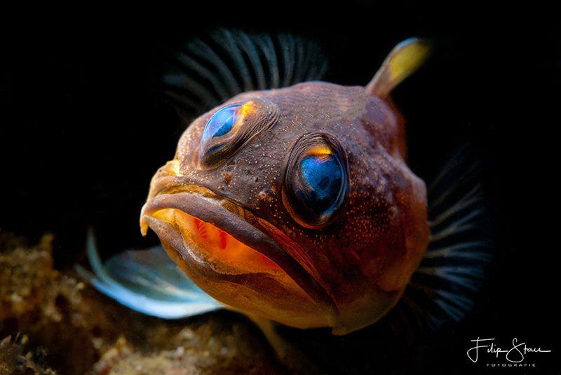 Jawfish, Manado, Sulawesi. by Filip Staes
