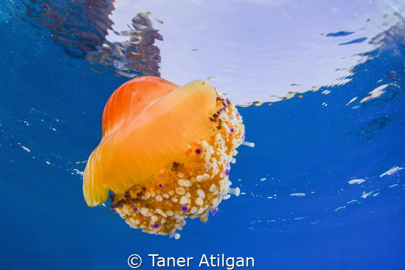 Jellyfish from La Herradura by Taner Atilgan