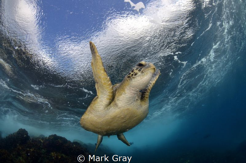Green Turtle returning to surface by Mark Gray