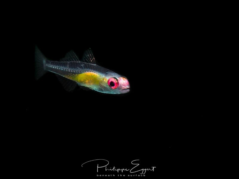 Pinkeye Gobie / Bryaninops natans by Philippe Eggert