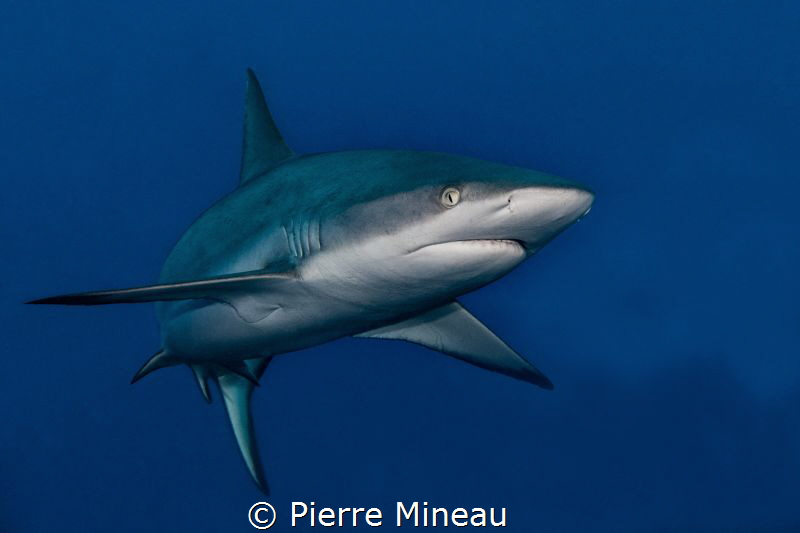 I wanted to capture the power and beauty of this grey ree... by Pierre Mineau