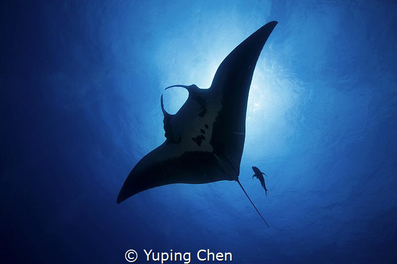 Into the Blue/Giant Manta/ Socorro, Mexico/Canon 5D MarkI... by Yuping Chen