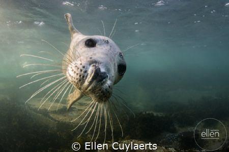Flying in Grey seal in Farne Islands by Ellen Cuylaerts
