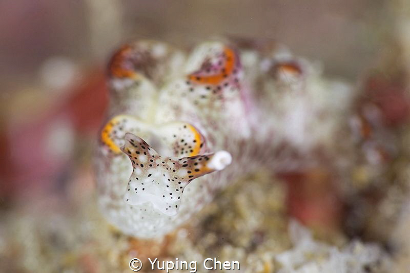 Sapsucking Slugs-Elysia sp.2/Lembeh strait,Indonesia, Can... by Yuping Chen