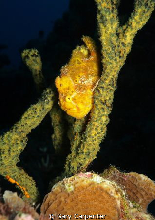Longlure frogfish (Antennarius multiocellatus) - Pictur... by Gary Carpenter
