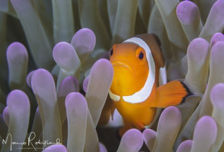 Nothing special but another photo of a Clown Fish ;-) by Mario Robillard