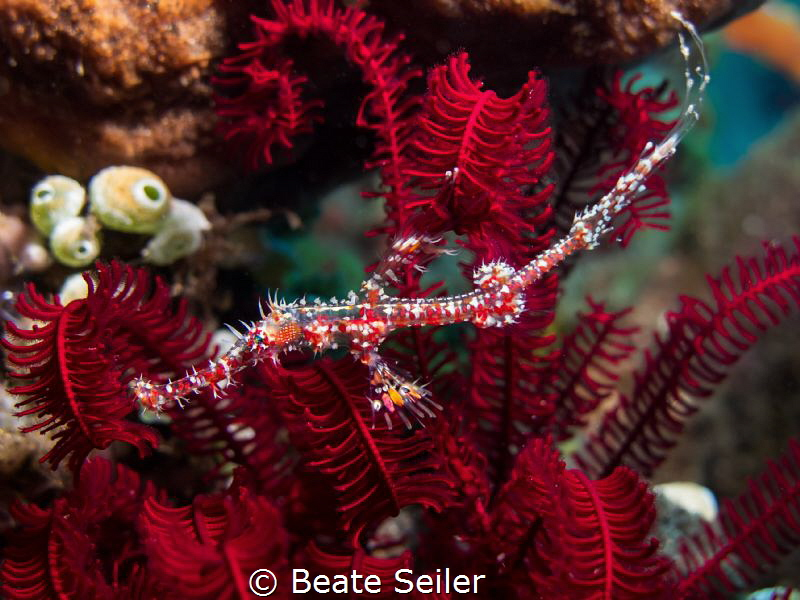 Juvenile ghost pipefish by Beate Seiler