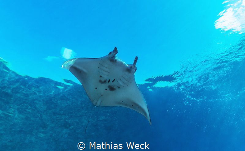 Manta at Tubbataha by Mathias Weck