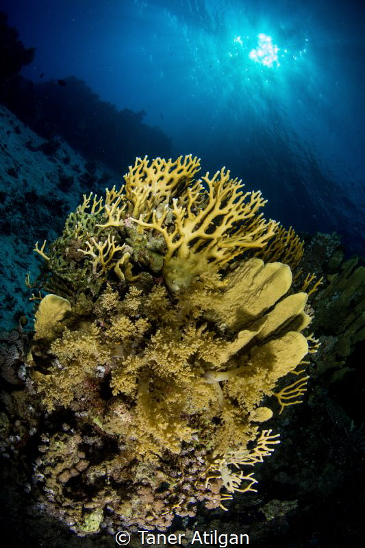 Yellow Corals by Taner Atilgan