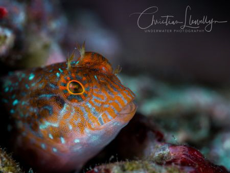 Blenny found in shallows in Zonqor - Marsaskala